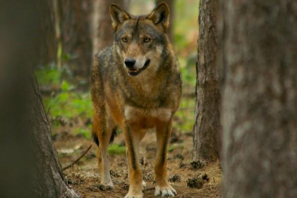 Wolf visit center